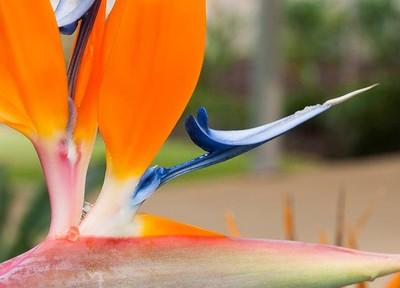 Bird of Paradise flower.