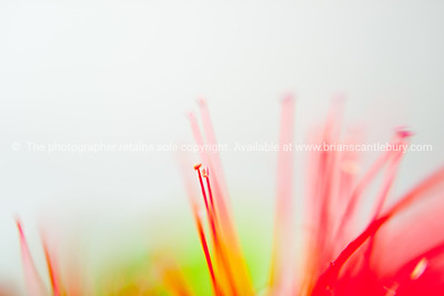 Pohutukawa flower abstract