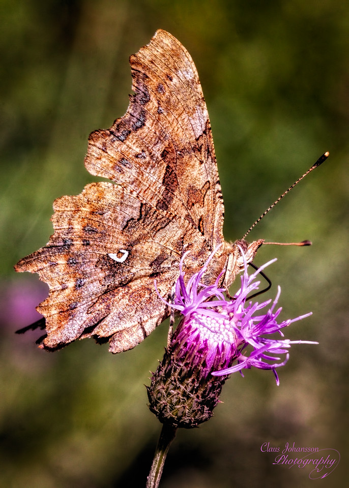 Det hvide C (Polygonia c-album) Comma - Robert-le-Diable