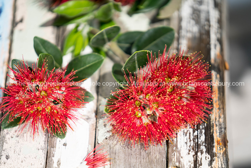 Pohutukawa flower on boatwood tablle closeup.