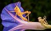 Recently molted Gray Bird grasshopper, La Mesa, CA