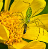 Green Lynx spider with s freshly caught snack, La Mesa, CA.