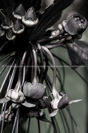 Natural sculpture. in black and white. White bat plant.