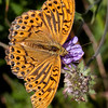 A worn male Silver-washed fritillary..