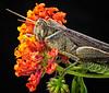 Adult Gray Bird grasshopper on Lantana.  La Mesa, CA