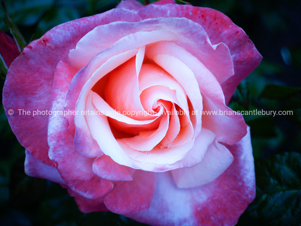 Rose bloom, old fashioned variety.