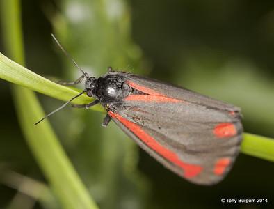 _MG_2465  Cinnabar Moth (Tyria jacobaeae)