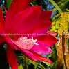 Magnificent ping cacti flower macro.