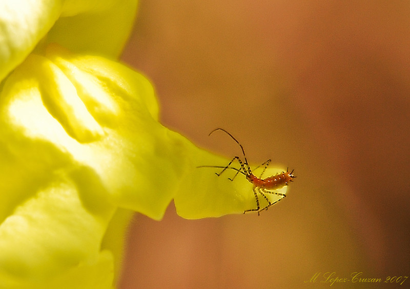 Itsy Bug