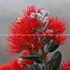 Close-up Pohutukawa flower