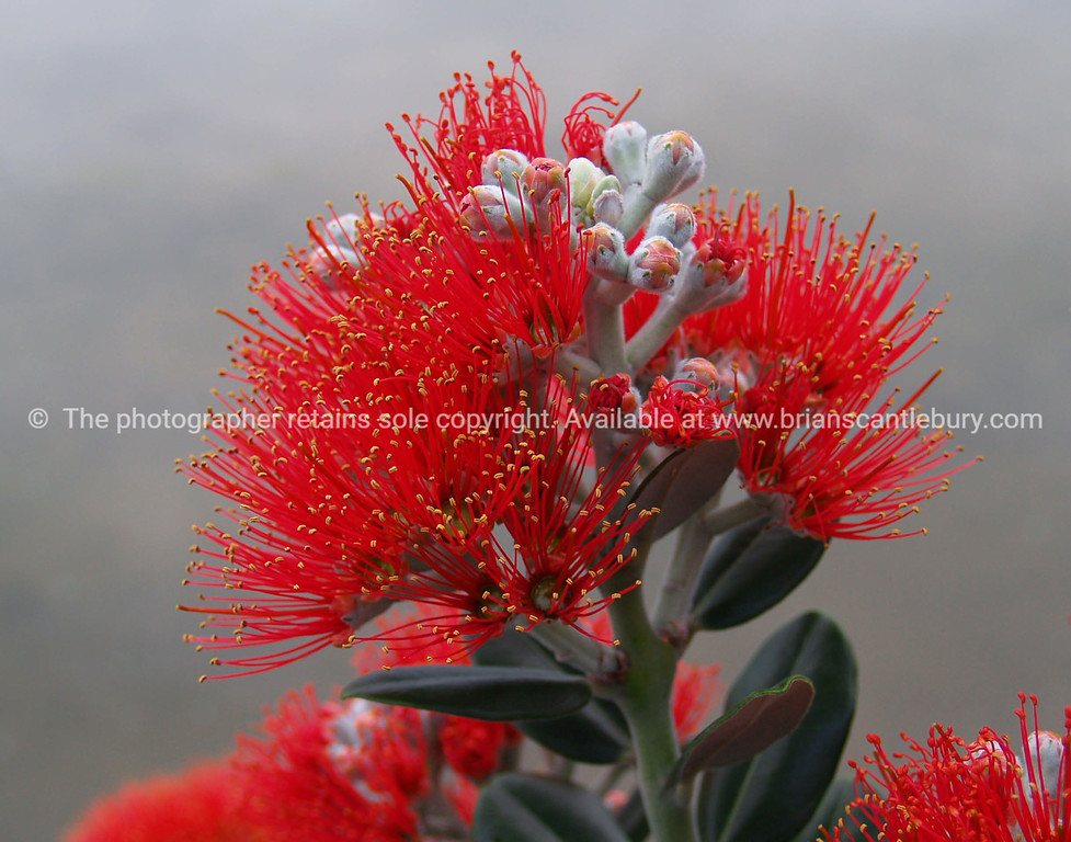 Close-up Pohutukawa flower