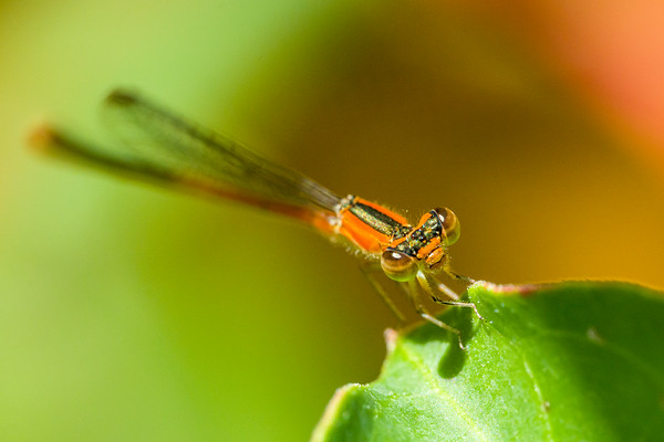 Damselfly in Natural Light