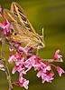 White-lined Sphinx Moth.  La Mesa, CA