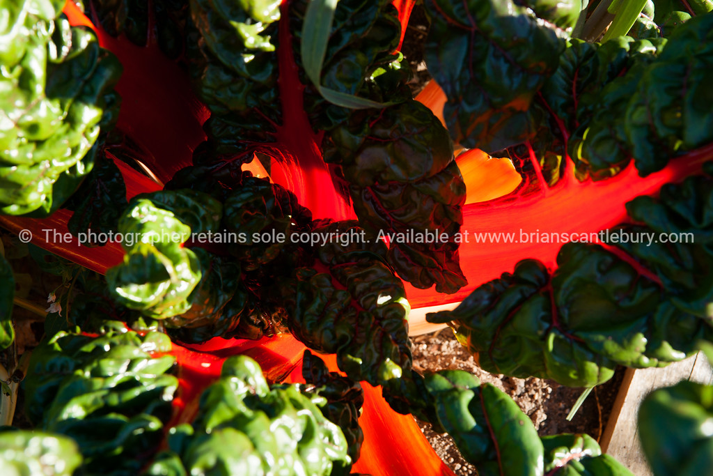 Silverbeet, red chard light through red fleshy stems.