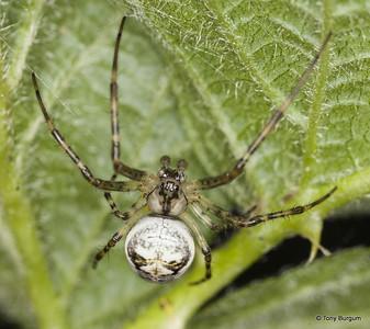_MG_4007 (Metalina), Lesser Garden Spider
