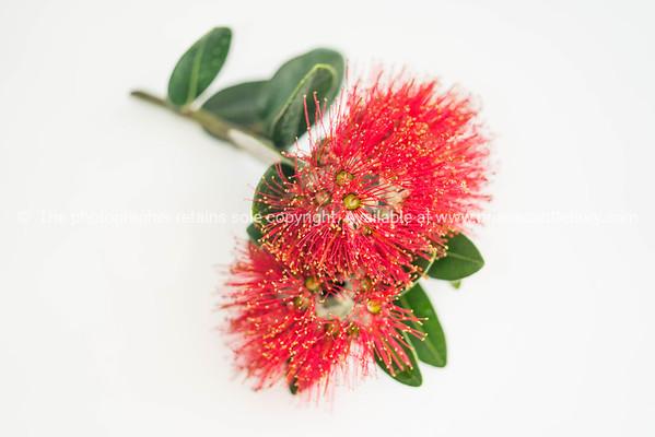 Red pohutukawa flower closeup  on white