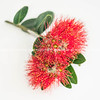 Red pohutukawa flower closeup  on white