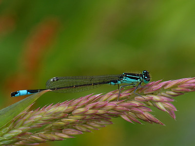 Blue-tailed Damselfly, Ischnura elegans. Ilperveld, The Netherlands.