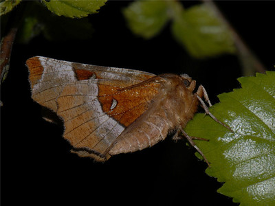 Purple Thorn, Selenia tetralunaria. Ilperveld, The Netherlands.