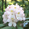 Rhododendron bloom - Camp Daniel Boone near Canton, NC - Summer 2012