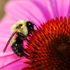 A Bumblebee collecting from a Coneflower. The bees are very willing to let me take all the pictures I want, but they don't stay still for long.