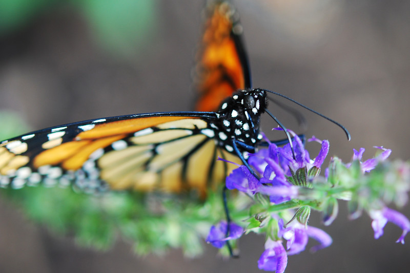 A beautiful Monarch feeding on some English Lavender.