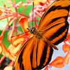 Tigerstripe Butterfly