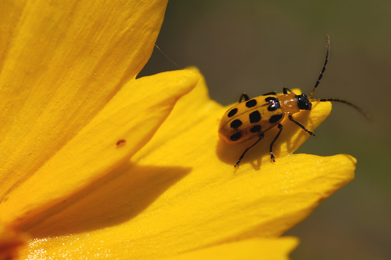 A photo of a Spotted Cucumber Beetle getting ready to take off from a Black-eyed Susan. Taken on one of my trips to UT Gardens.