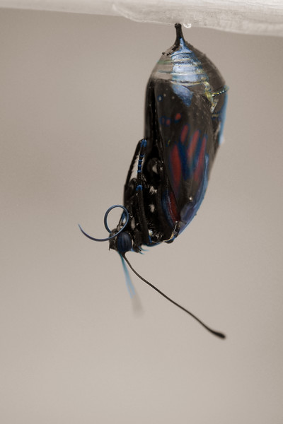 A Monarch emerging from it's cocoon.
