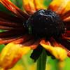 Sunburst Flower<br /> <br /> Taken at UT Gardens.