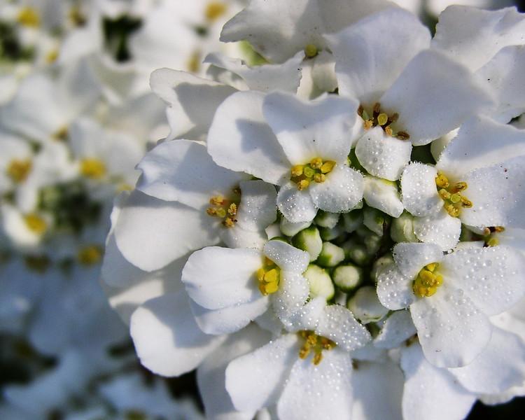 Dew Bloom