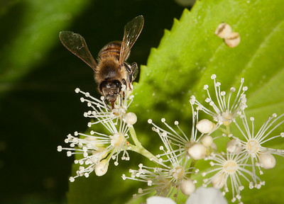 Solitary bee on hydrangea petiolaris.
