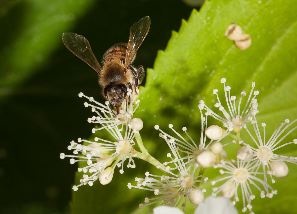 Solitary bee on hydrangea petiolaris.