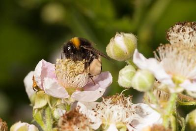 Bumblebee on blackberry flower.