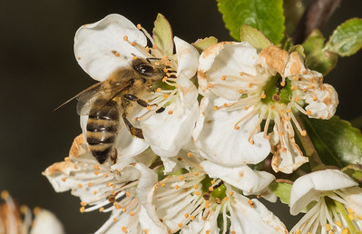Solitary bee on sour cherry (prunus cerasus).