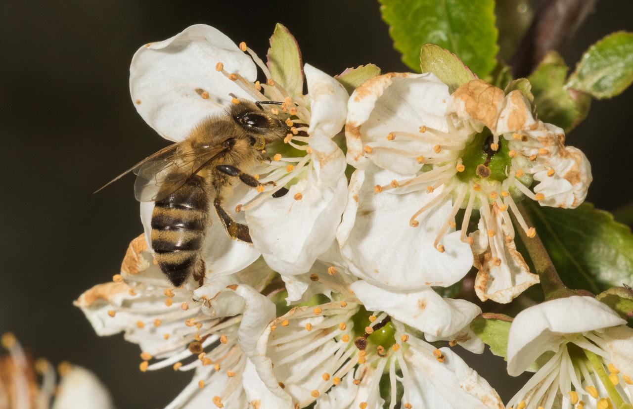 Solitary bee on sour cherry (prunus cerasus).