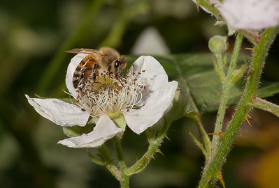 Solitary bee on blackberry flower.