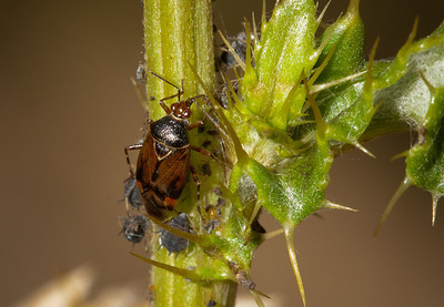 Aphids and an unidentified bug on a thistle.