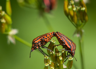 Italian Striped-Bug (graphosoma lineatum) mating.