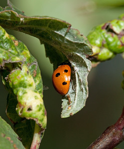Ladybug laying eggs on a plum leaf.
