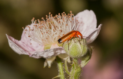 Common red soldier beetle (rhagonycha fulva) on blackberry flower.