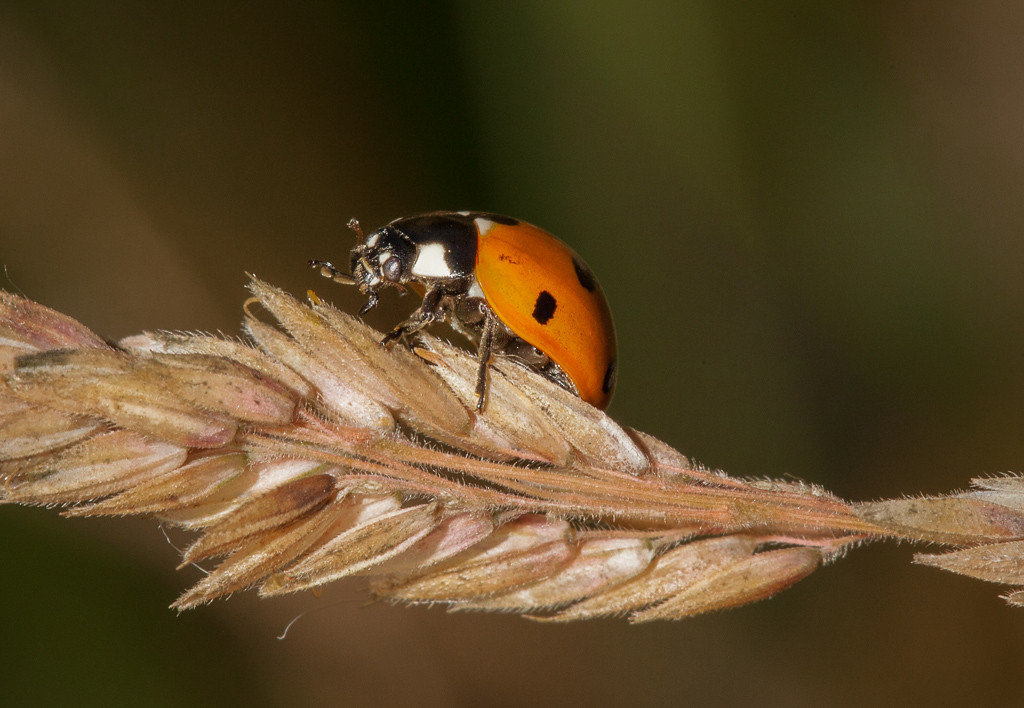 Sevenspotted ladybug (coccinella septempunctata) on dry grass.