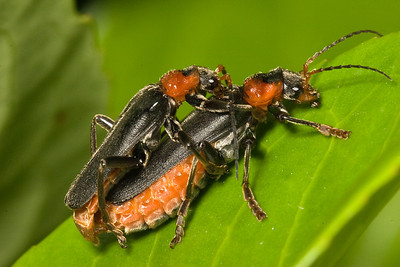 Mating soldier beetles (cantharis fusca).