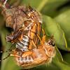 European June Beetle (Amphimallon solstitiale).