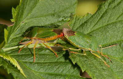 Green shield bug (palomena prasina).