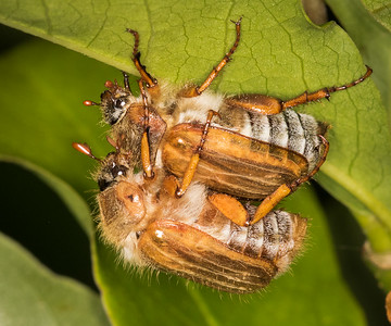 European June Beetle (Amphimallon solstitiale).