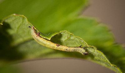 Caterpillar on whitecurrent leaf.