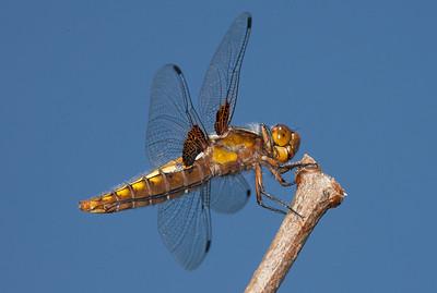 Female Broad-bodied Chaser (Libellula depressa).