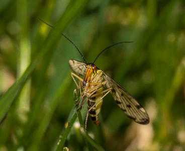 Female scorpion fly (panorpa communis).