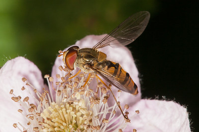 Male hoverfly on blackberry flower.